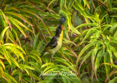 Bird Watching in Fiji (16)