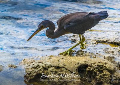 Bird Watching in Fiji (15)