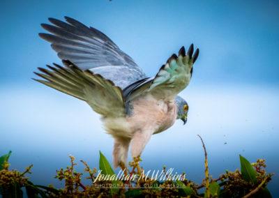 Bird Watching in Fiji (13)