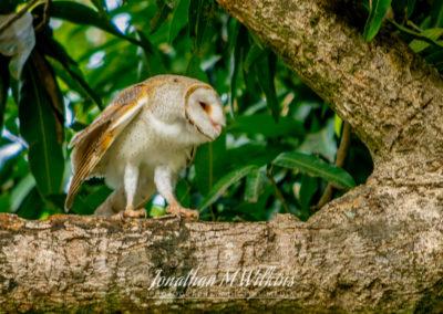 Bird Watching in Fiji (12)