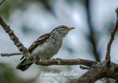 Bird Watching in Fiji (11)