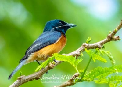 Bird Watching in Fiji (10)