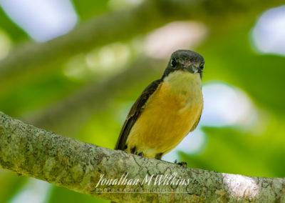 Bird Watching in Fiji (09)