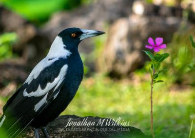 Bird Watching in Fiji (08)