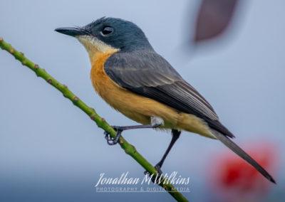Bird Watching in Fiji (07)