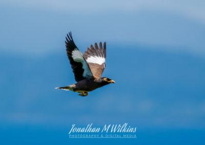 Bird Watching in Fiji (06)