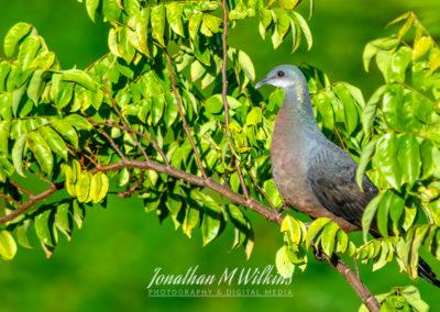 Bird Watching in Fiji (05)