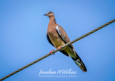 Bird Watching in Fiji (02)
