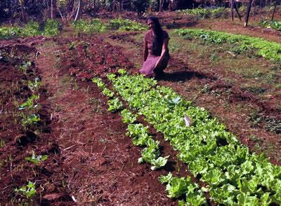 Coconut Grove Organic Vegetable Gardens